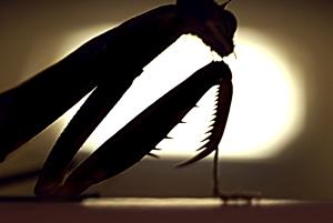 Mantis_silhouette